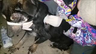 Первая помощь собаке, которую покалечили