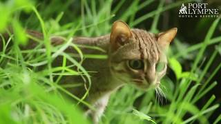 Small Carnivore September: Species Spotlight: Rusty Spotted Cat