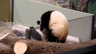 Toronto Zoo Panda Twins being absolutely adorable at their debut