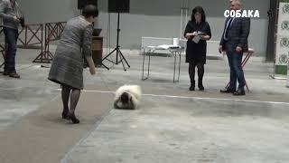 Пекинес Собака я
