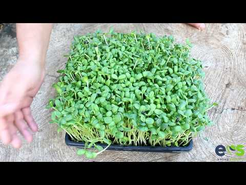 How to grow Sunflower Microgreens from seed