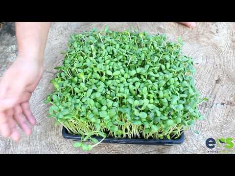 How to grow Sunflower Microgreens from seed