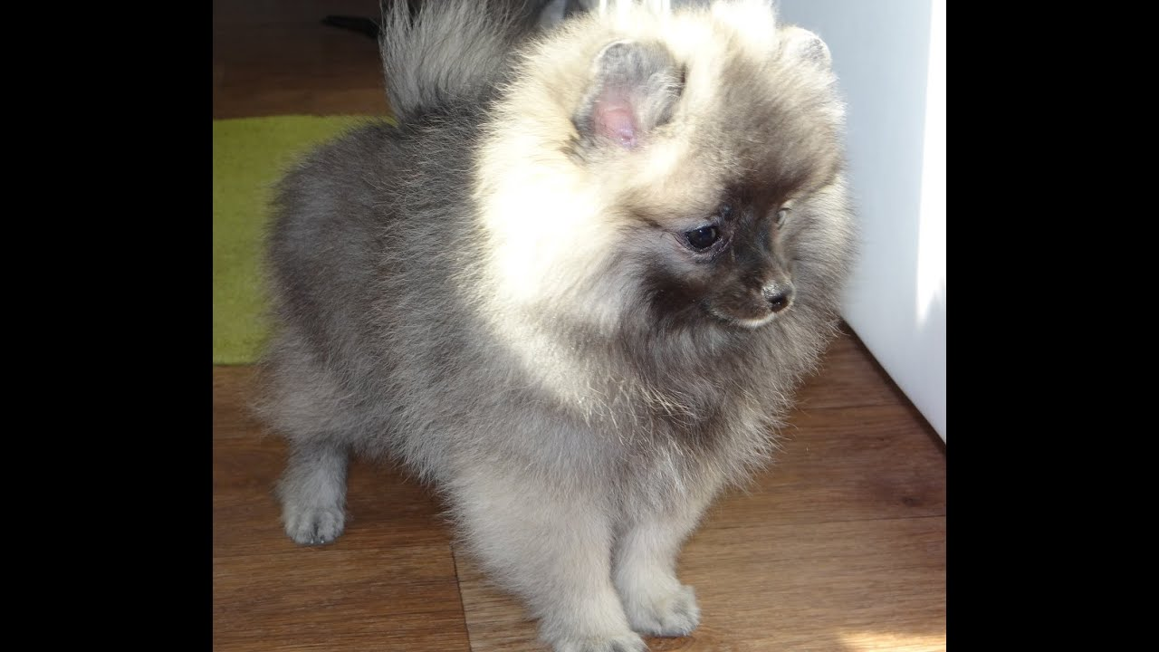 wolf sable pomeranian for sale pomeranian wolf sable male for sale youtube 9263