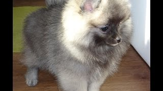Pomeranian Wolf Sable Male For Sale