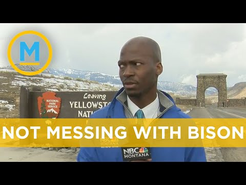 Reporter Gets Suspicious Of A Pack Of Bison, Runs Away Accordingly | Your Morning