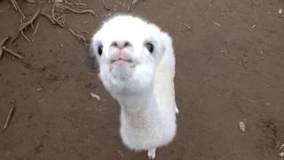 Cute alpaca baby. The 16th after birth.かわいいアルパカの赤ちゃん。生後16日。