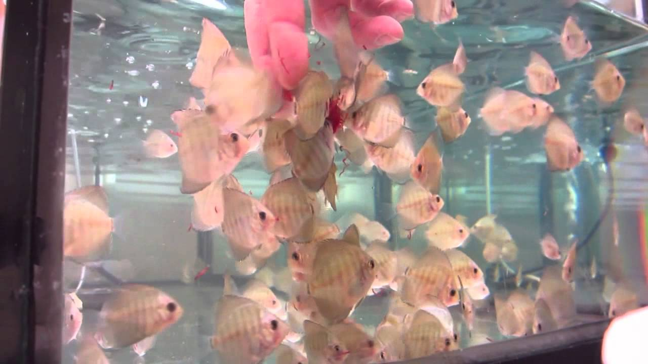 Feeding baby discus fish youtube for Baby fish song