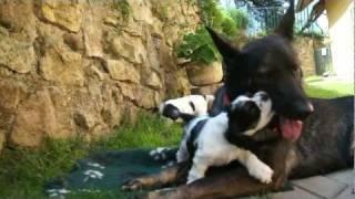 American Cocker Puppies From Kennels Snehulienka Litter E Part 4