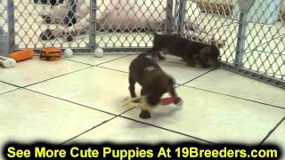 Miniature Dachshund, Puppies, For, Sale In Toronto, Canada, Cities, Montreal, Vancouver, Calgary