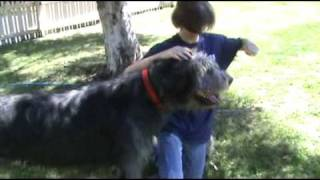 Irish Wolfhound Vs Giant Schnauzer Puppy Pt 2!
