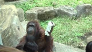 【動物】窓ふきをするオラウータン Pongo which does window cleaning