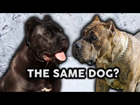 CANE CORSO OR PRESA CANARIO! Whats The Difference!?