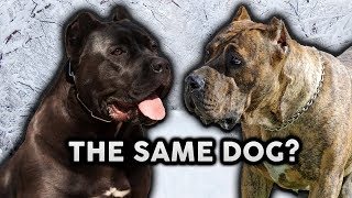 CANE CORSO OR PRESA CANARIO! Whats The Difference!?