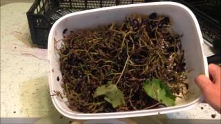 Ставим виноградную брагу или как сделать коньяк в домашних условиях без провинции Коньяк.(В этом видео показано как я начинаю делать виноградный дистиллят этого года, а именно ставлю виноградную..., 2015-10-22T11:00:00.000Z)