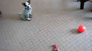 Buddy boy, our 9 week old Blue Heeler puppy