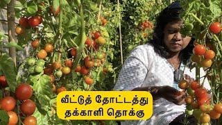 🍅 எங்க வீட்டுத் தோட்டத்து தக்காளி தொக்கு  🍅 /Tomato thokku  recipe from our garden 🍅 tomatoes