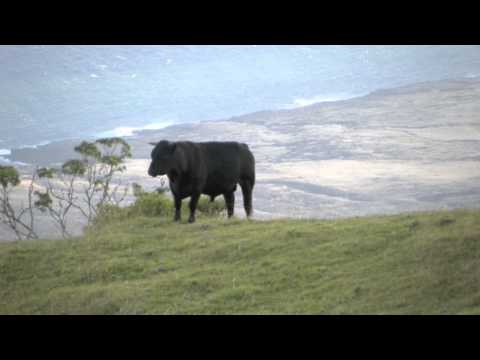 wild cattle of Maui Hawaii
