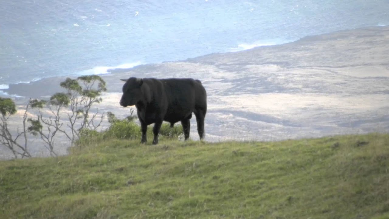 Wild Cattle Of Maui Hawaii Youtube