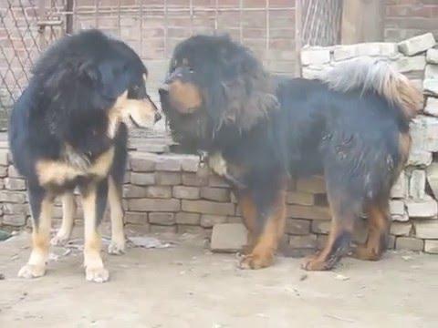 Tibetan Mastiffs Playing Around | Dog Breeding Videos