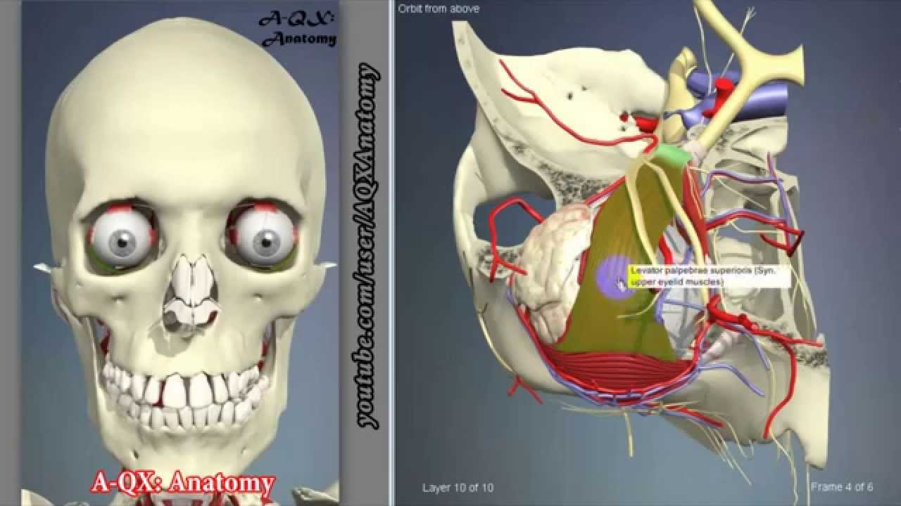 Extraocular Muscles Eye | 3D Human Anatomy | Organs - YouTube