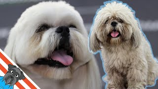 Lhasa apso coat care  From dirty dog to handsome