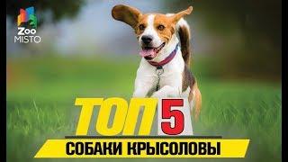Топ 5 собак крысоловов   Top 5 Pied Piper Dogs