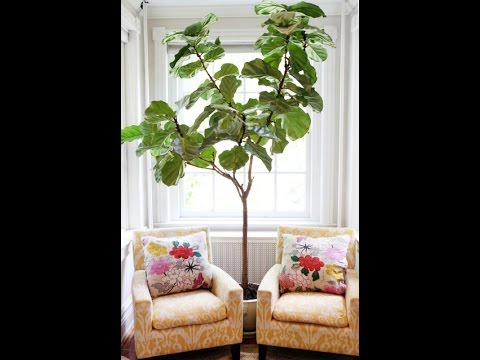 DIY Home Decoration - Fiddle Leaf Fig Tree - Beautiful Indoor House ...