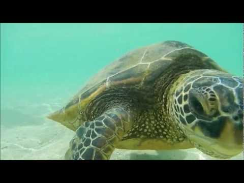 Green Sea Turtles in Oahu, Hawaii