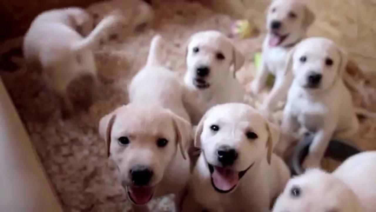 лабрадор-ретривер щенки фото