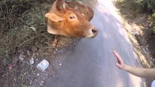 Ришикеш, laxman jhula. Жильё, коровы, горы и священная река Ганга | Индия 1(Первый день в городе Ришикеш, мы были удивлены наличием исключительно вегетарианской кухни во всей деревне..., 2014-11-19T03:48:00.000Z)