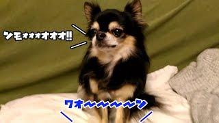 実家のチワワのルーちゃん動画第2弾! 12歳のおじいちゃん犬がちょっと...