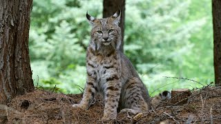 The wild bobcat that wants to join my family.