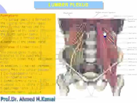 1 Lumbar plexus