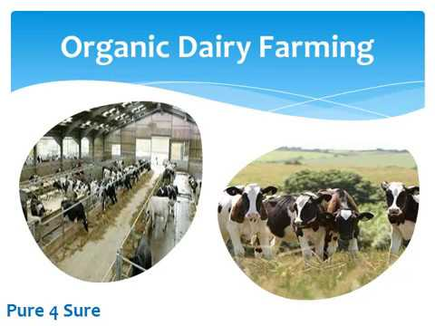 Cow vega dairy farm
