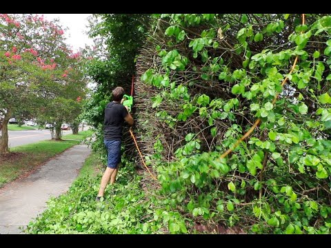 Hedge Trimming Our Overgrown Bushes With A GoPro (sorta)