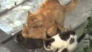 Смешные видеоролики Груповое спаривание котов Отпад  Funny animals