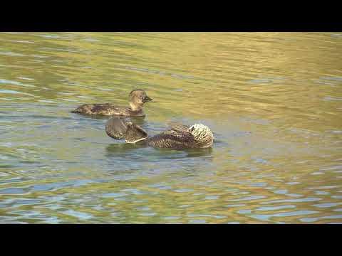 Australia's Weirdest Waterbird – A Male Musk Duck Displaying To A Female