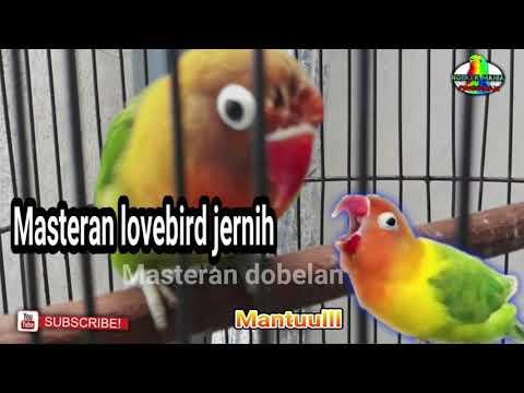 Masteran Lovebird Jernih, Masteran Suara Dobelan