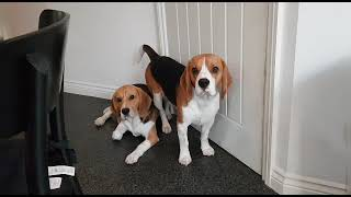 Rex & Roc The Beagle's Waiting To Go Out