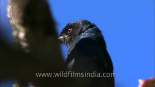 Ashy Drongo with its blood red eye!