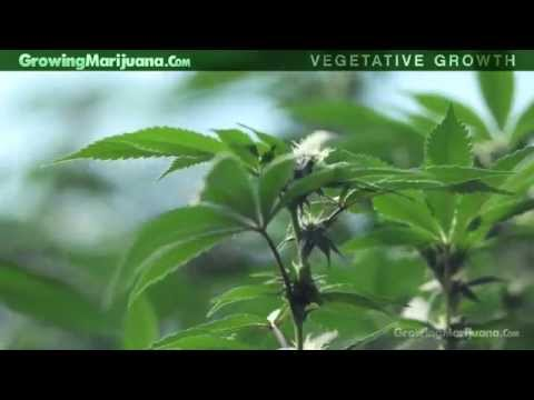 Vegetative Growth - Growing Weed - Vegetative Growth Of Marijuana Plants - 4
