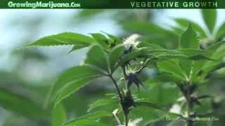 Vegetative Growth - Growing Weed - Vegetative Growth Of Marijuana Plants - 4