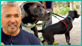 Why Does This Dog Need TWO Leashes? | Cesar 911