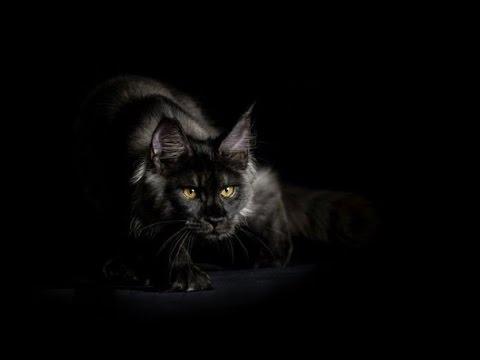 Кошки и котята мейн-кун. На сервисе объявлений olx. Ua украина легко и быстро можно купить котенка породы мейн-кун. Заведи друга прямо сейчас!