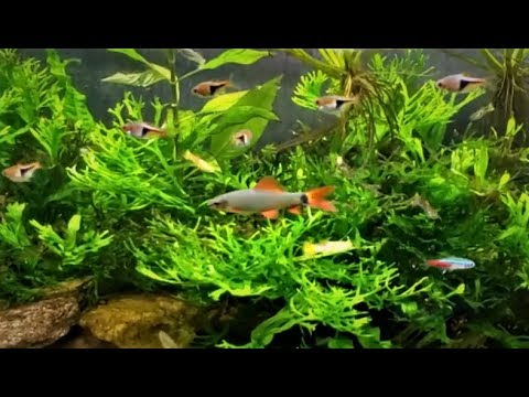 Rainbow Shark Remains The Feature Fish In My Office Tank Youtube
