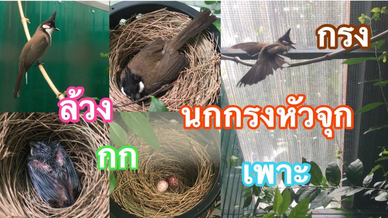 นกกรงหัวจุก ล้วงเจ้าลูกโทน แชร์การเพาะเลี้ยงนก ล้วงนก กกนก กรงนก (เพื่อการเพาะนกเบื้องต้น) Ep.183