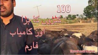 Katta farming in pakistan/katta business /farming business info./sahiwal katta farming in pakistan