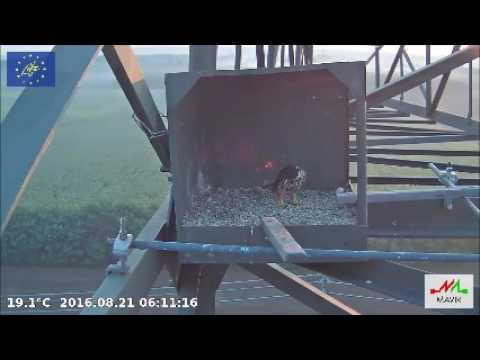 Falcon Hungary Hobby 2016 08 21 Florian call, Female in the nestbox 6:10