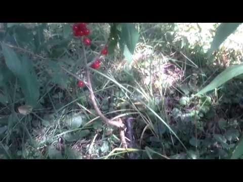 Волчье лыко (волчья ягода) фото, применение, лечение.