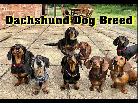 Dachshund Dog | Dachshund Dog Breed Information